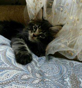 Котята породы мейн-кун, девочка