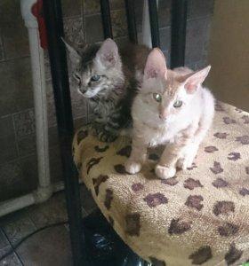 Котята от мейн куна и сфинкса