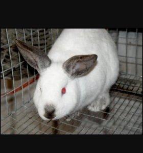 МОЛОДАЯ Калифорнийская крольчиха.