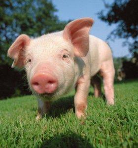 Настоящия домашния свинина!