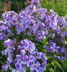 Продам садовые цветы, декоративные кустарники