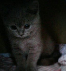 Котёнок шотландский