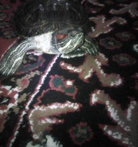 Отдаю черепаху .
