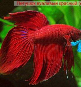 Рыбка петушок (она же бойцовая рыбка)