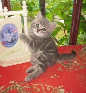 Котёнок мрамор на серебре