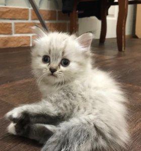 Котята договорная цена