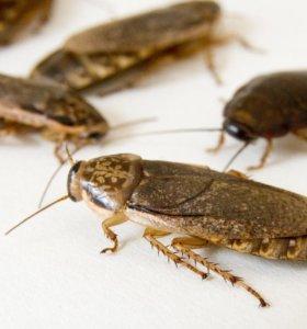 Мраморный (пепельный) таракан