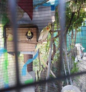 Кореллы(нимфовые попугаи)