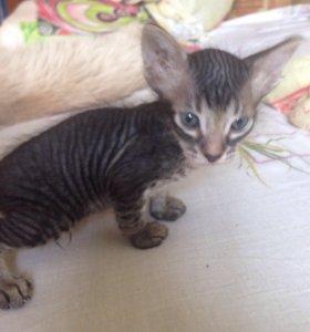 Котёнок метис