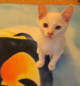 котенок-мальчик, ласковый, активный, умный