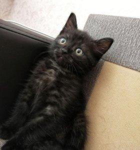 Отдается котенок окрасом черный дым