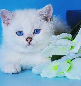 Британский котенок шиншилла-пойнт