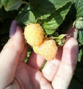 Продам саженцы желтой малины
