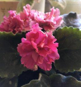 Розовая  фиалка, укоренённый листик