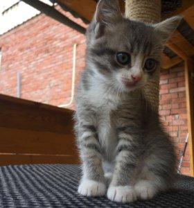 Котята - мама Британка (3 дев ) 1,5 месяца
