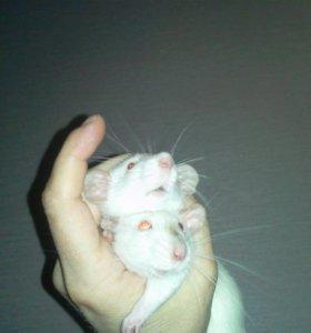 Крысята сиамские (2-самочки)
