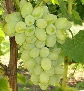 Саженцы винограда сорта Плевен