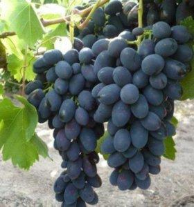 Саженцы винограда сорта Кодрянка