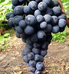 Саженцы винограда сорта Страшенский