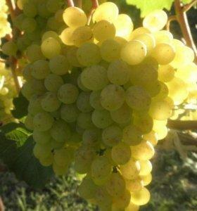 Саженцы винограда сорта Восторг