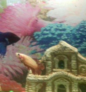 Петушки - 4 рыбки СРОЧНО