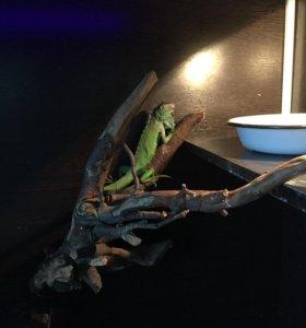 Игуана вместе с террариумом