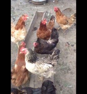 Куры несушки и цыплята
