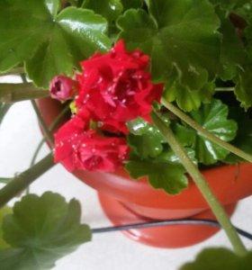 Комнатные цветы(кактусы,толстянка,герань,перчик)