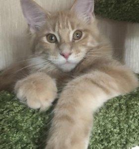Котёнок Мейн Кун девочка