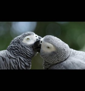 Попугаи ЖАКО краснохвостые