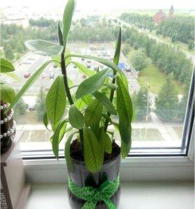 Комнатное растение синадениум