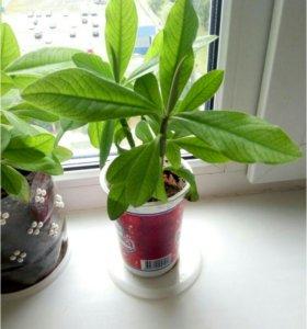 Синадениум, комнатное растение