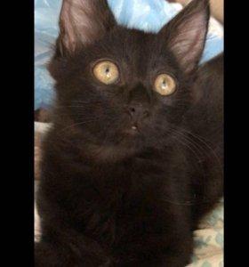 Метис котик