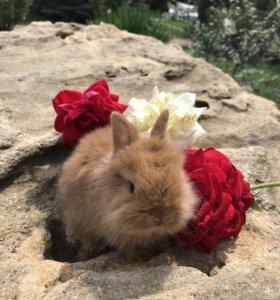 Продаю породистых карликовых крольчат