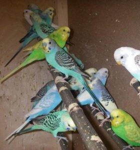 Волнистые попугаи опт