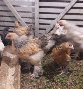 Брама палевая цыплята