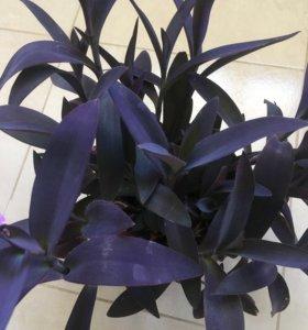 Комнатное растение Сеткреазия