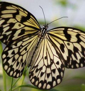 Живые тропические бабочки Idea Leuconoe