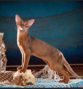 Абиссински котенок