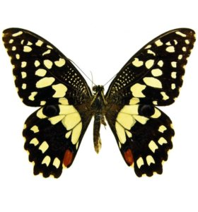 Живые тропические бабочки Papilio Demoleus