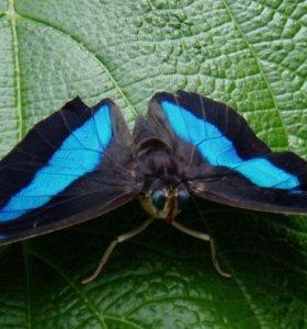 Живые тропические бабочки Prepona Demophoon