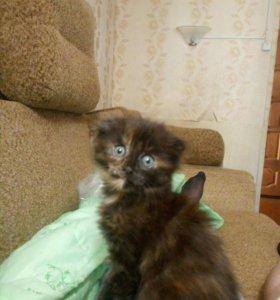 Котенок, девочка 2 месяца