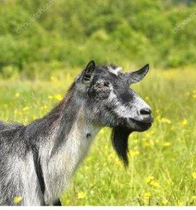 Продам дойную козу и козлушку
