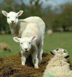 Продаются барашки и овцы