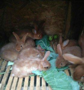 Кролики новозеландия