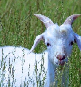 Продаю 2х.коз и 2х.козлов