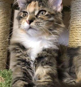 Кошечка Мейн - кун.