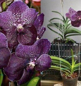 Орхидей