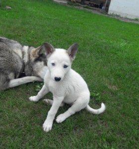 Продам породистых щенят