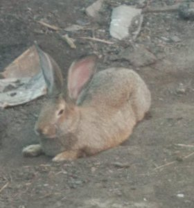 Продаю кроликов, породы серый великан